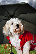 Worried Posters - Dog under umbrella Poster by Elena Elisseeva