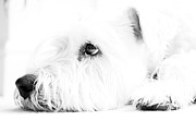 Resting Photo Metal Prints - Dog Waiting Metal Print by Nicky Bond