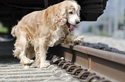 Watching Over Framed Prints - Dog walking over railroad tracks Framed Print by Mats Silvan