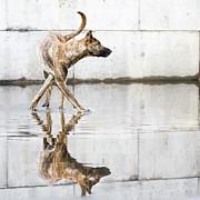 Dog Walking Posters - Dog Walking Through Water Poster by Elke Vogelsang