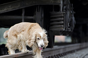 Wagon Train Photos - Dog walking under a train wagon by Mats Silvan