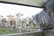 Wolfhound Framed Prints - Dog Watching Cows Through Fence Framed Print by Cecilia Cartner