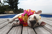 Fire Island Framed Prints - Dog Wearing Lei By Pool Framed Print by Tim Kitchen