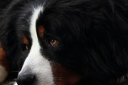Wings Domain Art - Dog by Wingsdomain Art and Photography