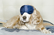 Dog Lying Down Prints - Dog with a sleep mask Print by Mats Silvan