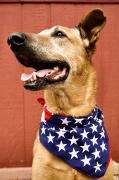 4th Of July Posters - Dog With American Flag Poster by Dawn Kish