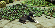 Avocados Posters - Dog With Avocados Poster by Nettie Pena