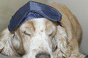 Sleeping Dog Framed Prints - Dog with sleep mask Framed Print by Mats Silvan