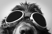Snow Dog Posters - Dog with sunglasses Poster by Mats Silvan