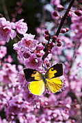 Pink Blossom Trees Posters - Dogface butterfly in plum tree Poster by Garry Gay