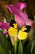 Flying Insect Posters - Dogface butterfly on pink calla lily  Poster by Garry Gay