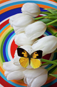 Flying Photos - Dogface butterfly on white tulips by Garry Gay