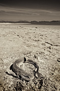 dogfish at Newborough Beach Print by Meirion Matthias