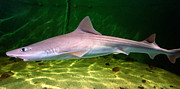 Dogfish Prints - Dogfish Shark In Aquarium Print by Matt Suess