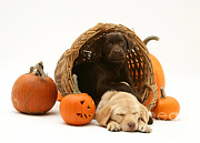 Chocolate Lab Photos - Dogs In Basket With Pumpkins by Jane Burton