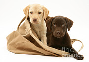 Chocolate Lab Photos - Dogs In Cloth Bag by Jane Burton