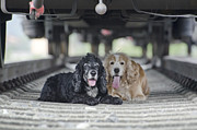 Two Dogs Posters - Dogs lying under a train wagon Poster by Mats Silvan