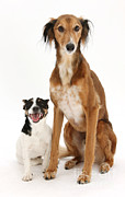 Lurcher Photo Posters - Dogs Poster by Mark Taylor