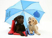 Labrador Retrievers Prints - Dogs Under An Umbrella Print by Jane Burton