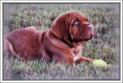 Bordeaux Digital Art Framed Prints - Dogue de Bordeaux Framed Print by Kay Novy