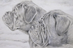 Pencil Artwork Drawings Prints - Dogue de Bordeaux Print by Keran Sunaski Gilmore
