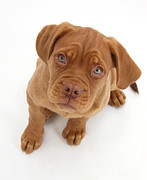 Mastiff Puppy Framed Prints - Dogue De Bordeaux Puppy Framed Print by Mark Taylor