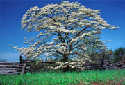 Manassas National Battlefield Park Photos - Dogwood and Rail Fence by Thomas R Fletcher