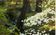 Tree Blossoms Prints - Dogwood and Sunlight Print by Mark Wagoner