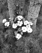 Dogwood Photos - Dogwood and Tree by Joe  Palermo
