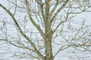 Dogwood Lake Prints - Dogwood Bark at the Lake Print by Greg  Plachta