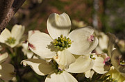 Reflections Of Infinity Llc Prints - Dogwood Begins to Bloom 1 Print by Robert E Alter Reflections of Infinity