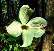 Julie Dant Photography Photo Prints - Dogwood Blossom I Print by Julie Dant