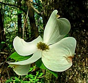Julie Dant Artography Acrylic Prints - Dogwood Blossom II Acrylic Print by Julie Dant