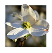 Dogwood Blossom Metal Prints - Dogwood Blossom Metal Print by John Lautermilch