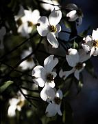 Tree Blossoms Originals - Dogwood Blossoms by Ayesha  Lakes