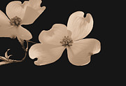 Dogwood Blossom Metal Prints - Dogwood Blossoms Sepia Metal Print by Kristin Elmquist