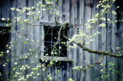 Barn Windows Posters - Dogwood Blossoms  Poster by Thomas Schoeller