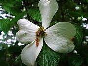 Beth Dennis - Dogwood Flower After a...