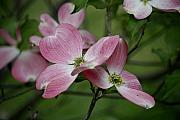 Julian Bralley - Dogwood flower
