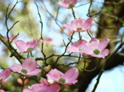 Flower Photographs Photo Prints - Dogwood Flowers Pink Dogwood Tree Landscape 9 Giclee Art Prints Baslee Troutman Print by Baslee Troutman Fine Art Prints