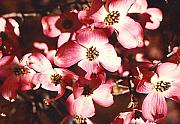 Tree Blossoms Originals - Dogwood Harmony by Nancy Mueller