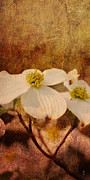 Dogwood Photos - Dogwood III by Jai Johnson