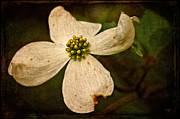 Dogwood Blossom Metal Prints - Dogwood Metal Print by Lois Bryan