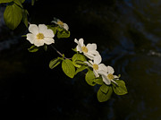 Merced River Prints - Dogwood On The River Print by Bill Gallagher