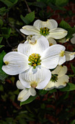 Flower Images Posters - Dogwood Poster by Skip Willits