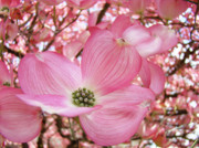Flower Photographs Metal Prints - Dogwood Tree 1 Pink Dogwood Flowers Artwork Art Prints Canvas Framed Cards Metal Print by Baslee Troutman Fine Art Collections
