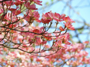 Flower Photographs Prints - Dogwood Tree Landscape Pink Dogwood Flowers Art Print by Baslee Troutman Fine Art Collections