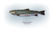 Game Drawings Posters - Dolly Varden Trout Poster by Ralph Martens