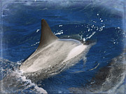 Dolphin Art Print Posters - Dolphin Escort Poster by Paulette Wright