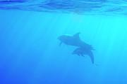 Sami Sarkis - Dolphin mother and calf